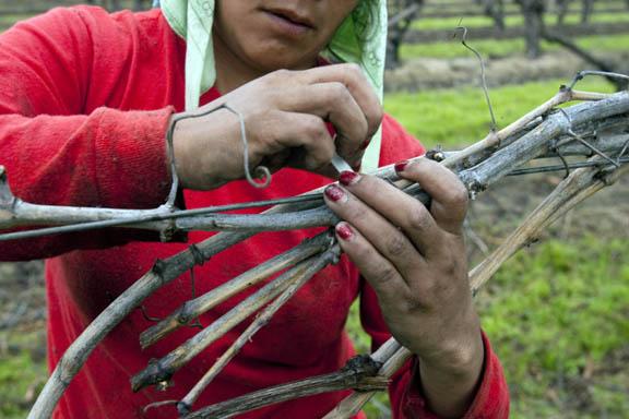 Campesina tying grape vines in fields of California